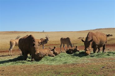 seeing rhinoceros in south africa