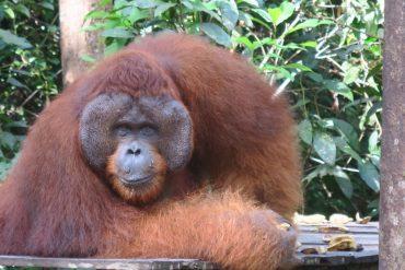 orangutan in tanjung puting national park